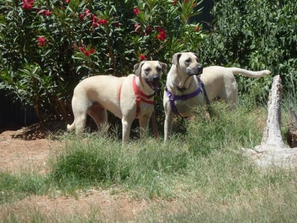 My dogs, Kebi and Upasha, exploring Tina Dalcour's yard.
